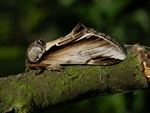 Birke-porcelnsspinder (Pheosia gnoma)